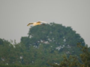 Great White Egret flying into BGM