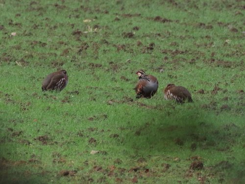 Red-legged Partridges at Starcross