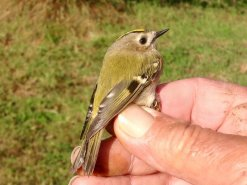 1st.Yr.M. ''Continental'' Goldcrest.