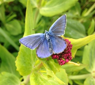 Commonl Blue Butterfly Berry Head 060517 ML