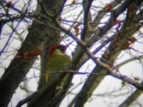 Green Woodpecker Male