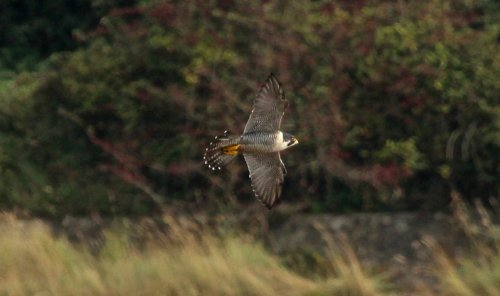 Peregrine made one pass in front of the old hide Seaton Marsh