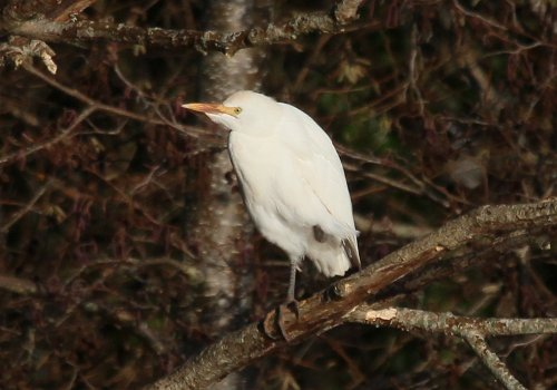 Cattle egret in tree, bottom pond