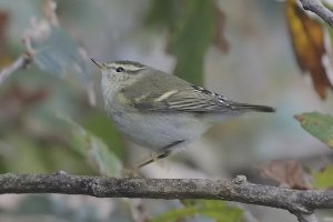 Yellow-browed or Hume's Warbler