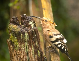 Hoopoe Okehampton Apr 28 20 Philip Hammans