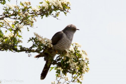 Cuckoo - South Brent -10.6.15