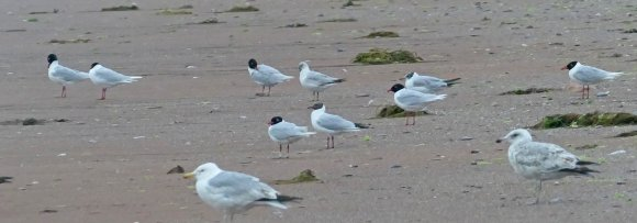 Med Gulls Paignton Beach 4 July 2018