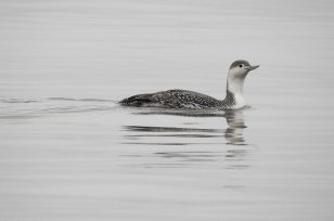 Red-throated Diver Paignton 26 Jan 2021 ML