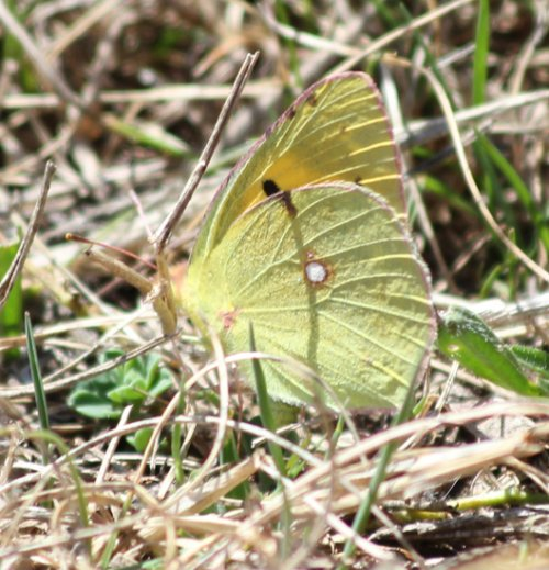Clouded Yellow, up by the lookout tower. Another new one...tick