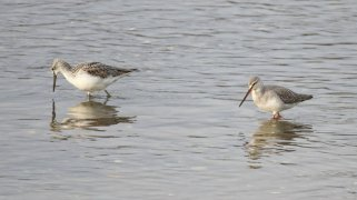 Greenshank & Spotted Redshank