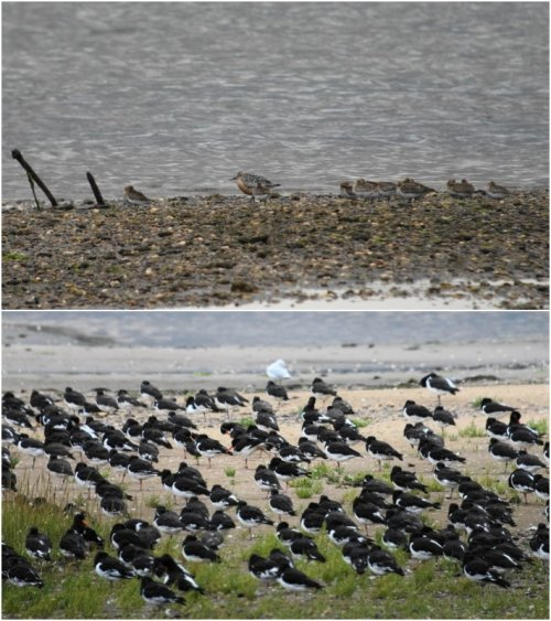 sp-Knot + Oystercatchers