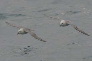 Fulmar (light phase)