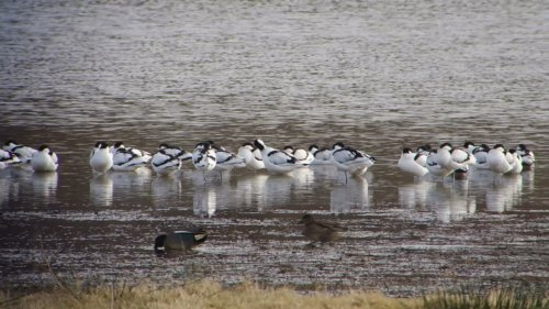 Avocets at Bowling Green Marsh