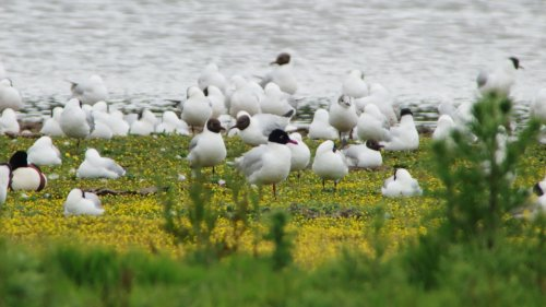adult-Mediterranean Gull from Bowling Green Marsh hide