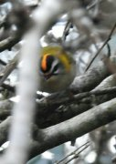 Front view, record shot, of firecrest in Braunton
