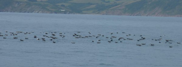 Manx & 1 Balearic Shearwater Lyme Bay Boat trip 16th Aug 2015 NSMl