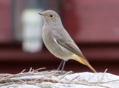Black Redstart, Prawle 17.10.13 Tony Marchese