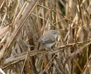 Chiffchaff tristis? Broadsands 14 Dec 12 ML