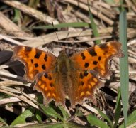 Comma - South Milton Ley - 13.3.17
