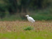 Cattle Egret Feeding