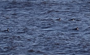 Flock of 4 Great Northern Divers