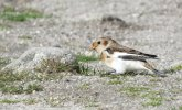 Snow Bunting © Mark Worden, 11/9/2017, lundy, first found on the 10th