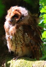 Young Tawny Owl.