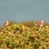 Meadow Pipit and linnet