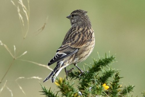 Twite, Crazywell pool, Dartmoor