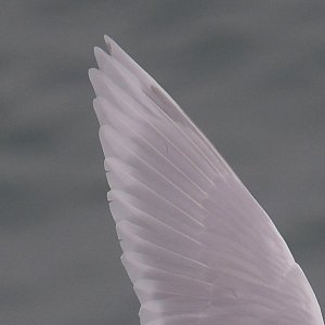 'Kumlien's Gull' left wing tip