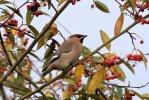 Waxwing © GregBradbury, 2/1/2019, Central Park, Plymouth