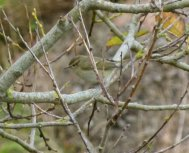 Hume's Leaf Warbler Berry Hd 15 Nov 14 ML2