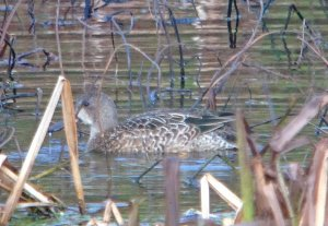 Blue-winged Teal Mansands 25 November 2019 ML