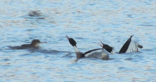 2 Male Red-Breasted Mergansers displaying to a female.