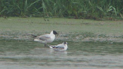 fs-Little Gull