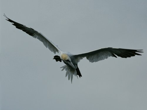 Gannet off the back of the boat