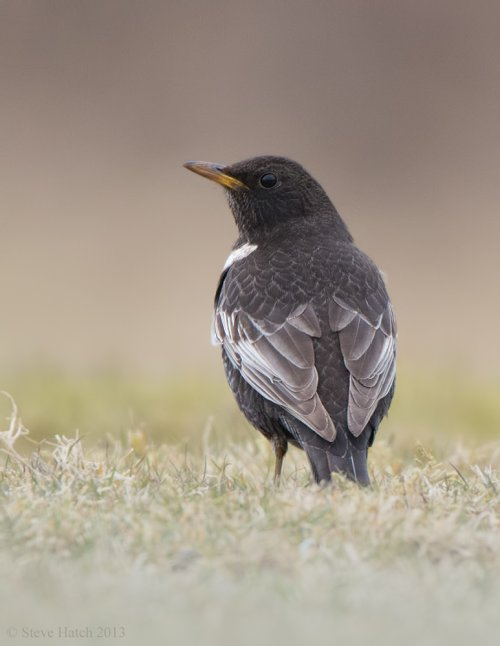 Ring Ouzel from Bystock