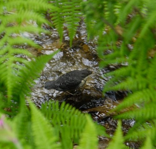 Dipper fledgling, Sterridge Valley, May 2014