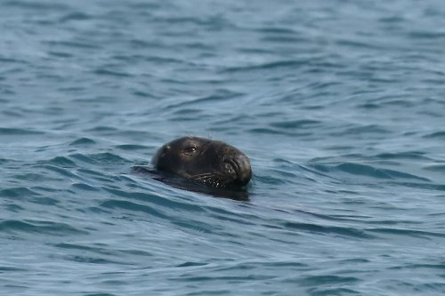 Seagoing grey seal