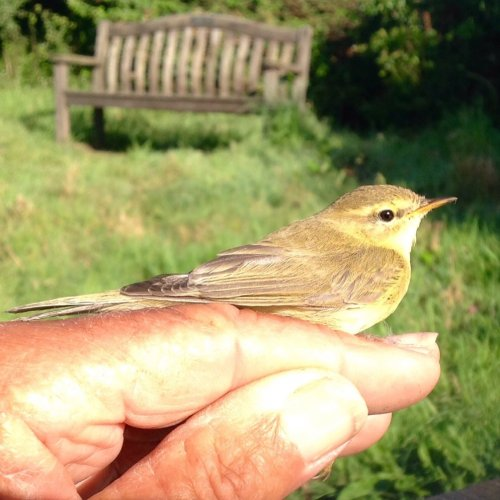 1st. Yr.. Willow Warbler