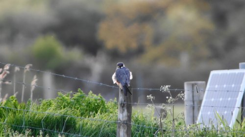 Hobby at Exminster Marsh  29-4-2015