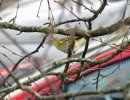 Wood Warbler © Gareth Shaw, 22/3/2017, Woodbury, East Devon, Foraging on a silver birch in my front garden along with a couple of Long Tailed Tits.