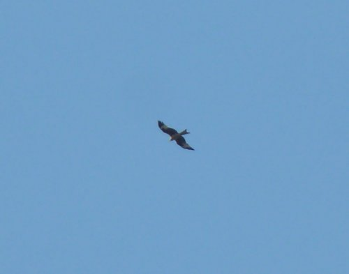 One of the Red Kites