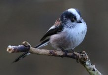 llong tailed tit