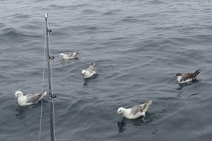 Great Sheawater with Fulmars