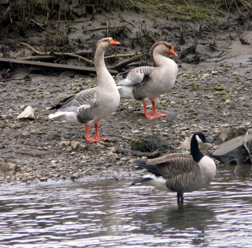 presumed swan goose x greylag hybrids - present on the Teign for years now.