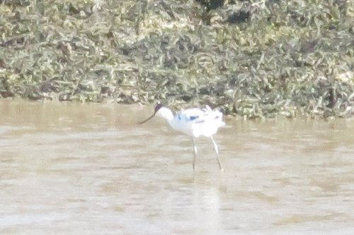 Avocet on shore of River Caen