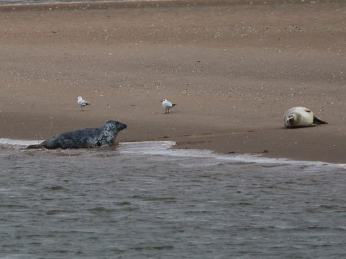 Grey and (resident) Harbour (Common) Seal