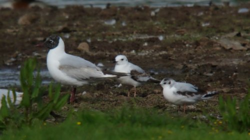 Ross's Gull (middle)