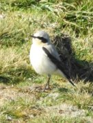 Male Northern Wheatear at Baggy Point